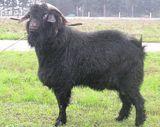 Capra Prisca mâle