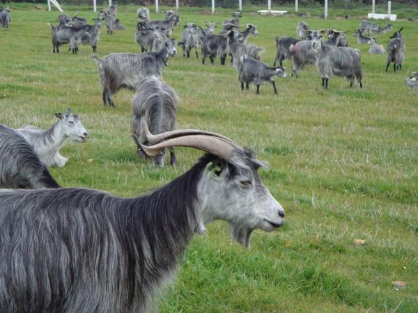Chèvres Serrana